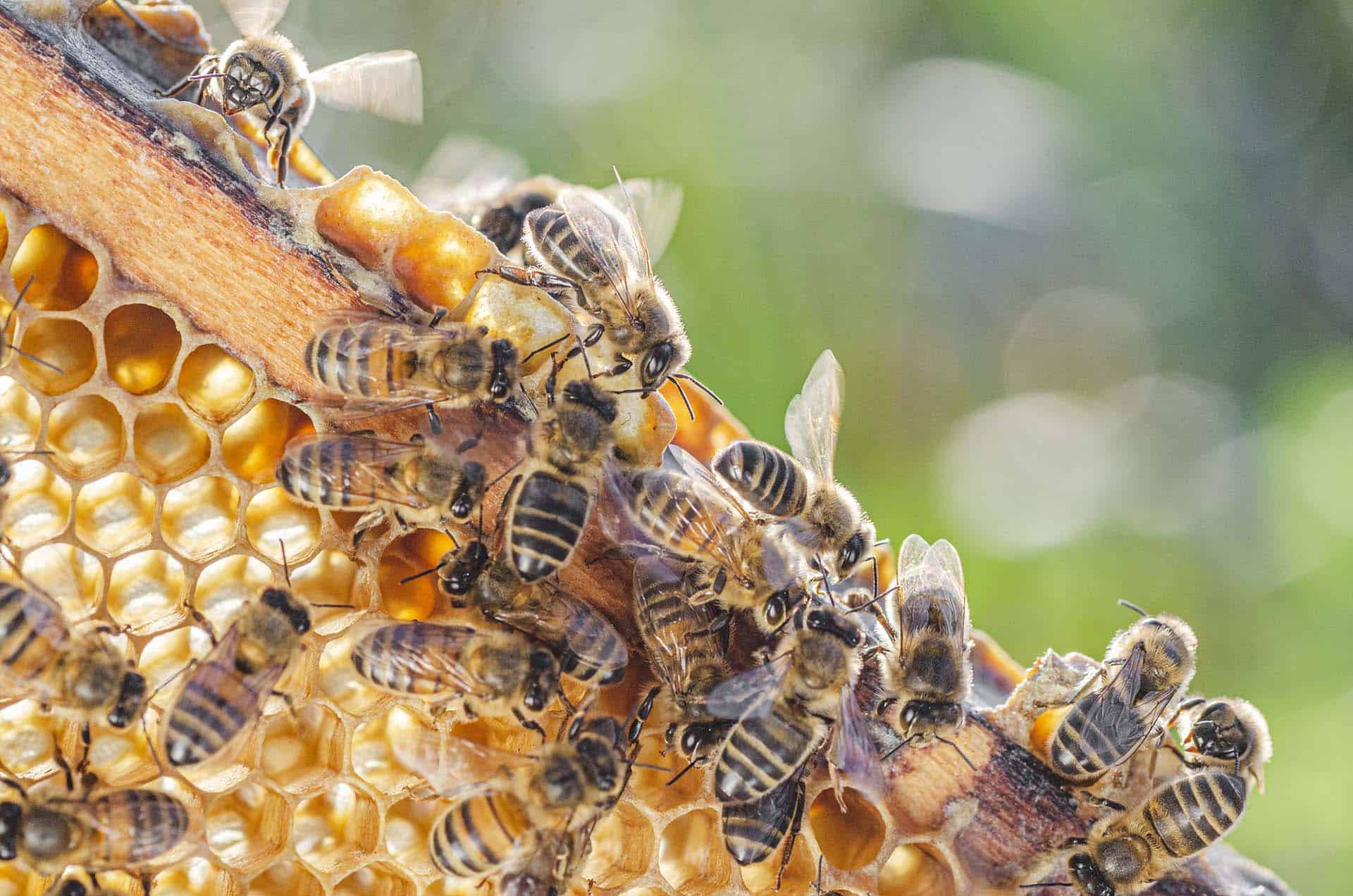 Honey bees cluster on a honey comb